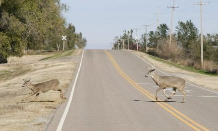 Deer-vehicle crashes increase in fall