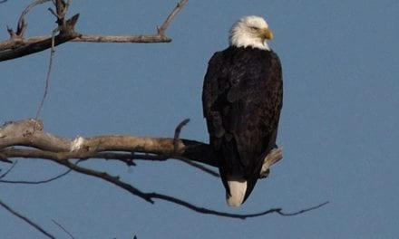 January brings bald eagles back to Kansas; bus tours available