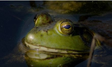 Bullfrog season to start in July