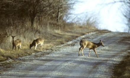 Deer, vehicle crashes increase in fall