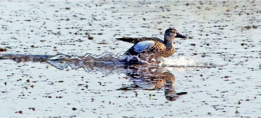 Veteran waterfowl hunters ready for September teal season start