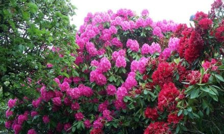 Plant disease identified as Rhododendrons sold in Kansas stores